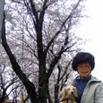 近所の桜並木4
